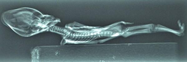 Cientistas confirmam origem de estranho e minúsculo esqueleto_6